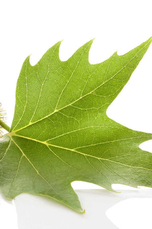 Sycamore, Platanus, Tree, Deciduous, (Florida Only) Size: 15 Gallon (Fl delivery)