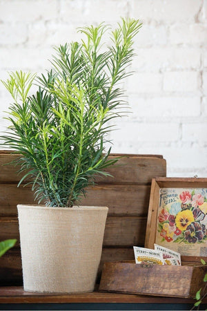 Podocarpus Maki, Japanese Yew (State  Restrictions Apply)