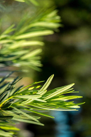 Pringles Dwarf Podocarpus, Japanese Yew, ornamental, landscape, bush, (Florida Delivery Only-Included in Price) for $ 28.95 at Root 98 Warehouse