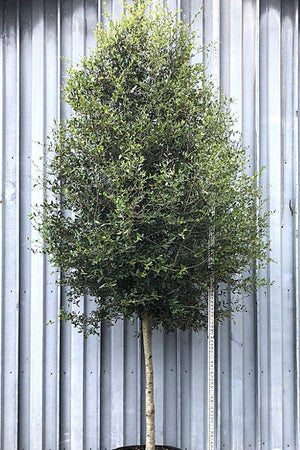 Southern Oak Tree, Quercus virginiana, Live Oak (Florida Only) Size: 30 Gallon (Fl delivery)