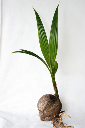 Coconut Tree (Green) 2 Pack -24 inch, (Excludes: CA, AZ, AK, HI, PR) for $ 31.95 at Root 98 Warehouse