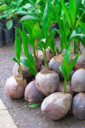 Coconut Tree (Green) Hawaiian, Live Coconut Palm, 2 Pack (24 inch)(Excludes: CA) for $ 31.95 at Root 98 Warehouse
