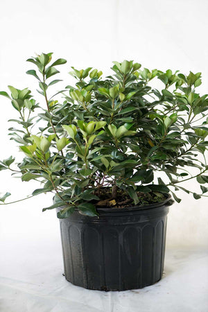 Indian Hawthorn 'Alba', Rhaphiolepis indica, Evergreen, Compact, (Florida Only) Size: 7 Gallon (Fl delivery)