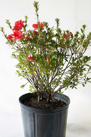 Rhododendron 'Fashion', Glendale Azalea, 3 Gallon, (Excludes: AZ, CA) for $ 61.95 at Root 98 Warehouse