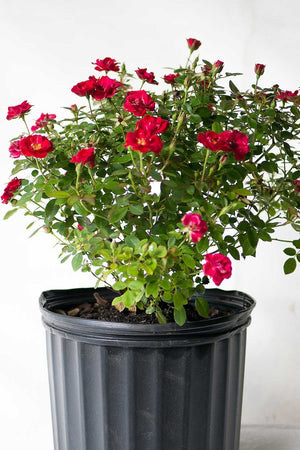 'Sunrosa Red', Rosa, Rose, Compact, 3 Gallon, (State Restrictions Apply)