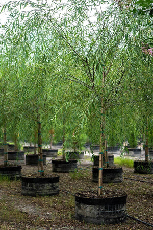Weeping Willow, Salix babylonica, Tree, Fast Growing, 45 Gallon,(Florida Only)