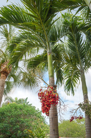 Christmas Palm Tree, Triple, (Florida Only) Size: 30 Gallon (Fl delivery)