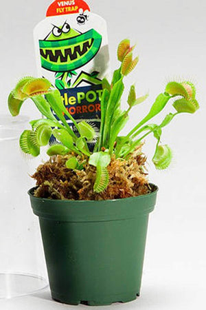 "Venus Fly Trap in Dome, Carnivorous Flytrap Plant,3"" pot (Excludes: CA, AZ) for $ 31.95 at Root 98 Warehouse"