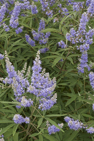 'Shoal Creek', Vitex agnus-castus, Chaste Tree, Fragrant, 15 Gallon (Florida Delivery Only-Included in Price)