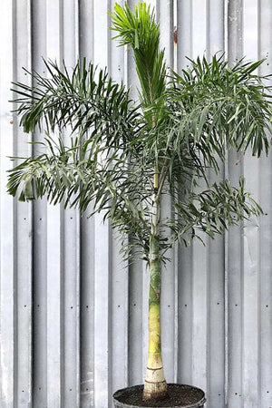 Foxtail Palm, Wodyetia Bifurcata, Tree (Florida Only) Size: 30 Gallon (Fl delivery)