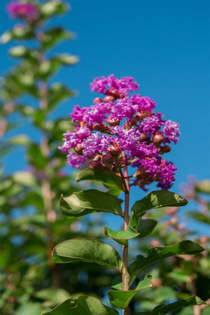 Crape Myrtle, Catawba, Tree, (Florida Only) Size: 30 Gallon (Fl delivery)