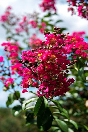 Crape Myrtle, Tonto, Tree, (Florida Only) Size: 30 Gallon (Fl delivery)