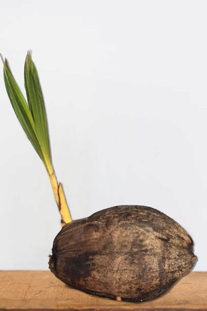 Baby Coconut Tree (Yelllow) Sprouted Seedling,(Excludes: CA)