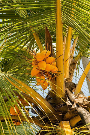 Coconut Tree, Yellow (Excludes Ca)