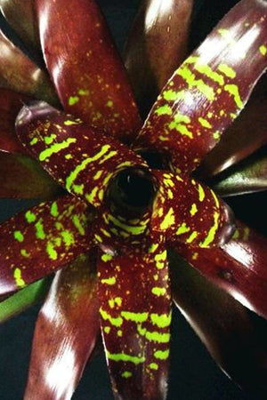 Neoregelia Green Eyes Bromeliad Rare Hybrid Tropical Plant, (Excludes Ca)