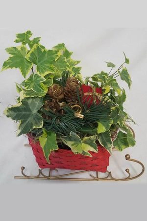 Wicker Sleigh, Live Plant Centerpiece Decoration for Winter Christmas(Excludes Ca, Az) Size: 10 inch planter