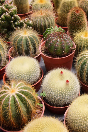 Cactus Assortment,succulent(Grower's Select) (Excludes: CA, AZ)