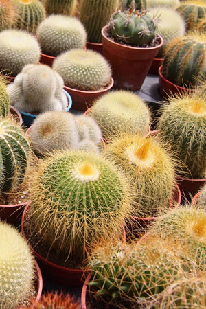 Cactus Assortment (Grower's Select) (Excludes: CA, AZ, AK, HI, PR) for $ 29.95 at Root 98 Warehouse