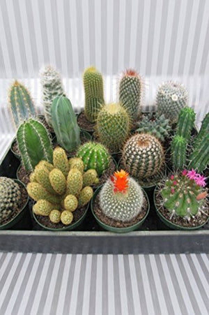 Cactus Assorted (Excludes Ca, Az), Size: 3-inch pot x 12