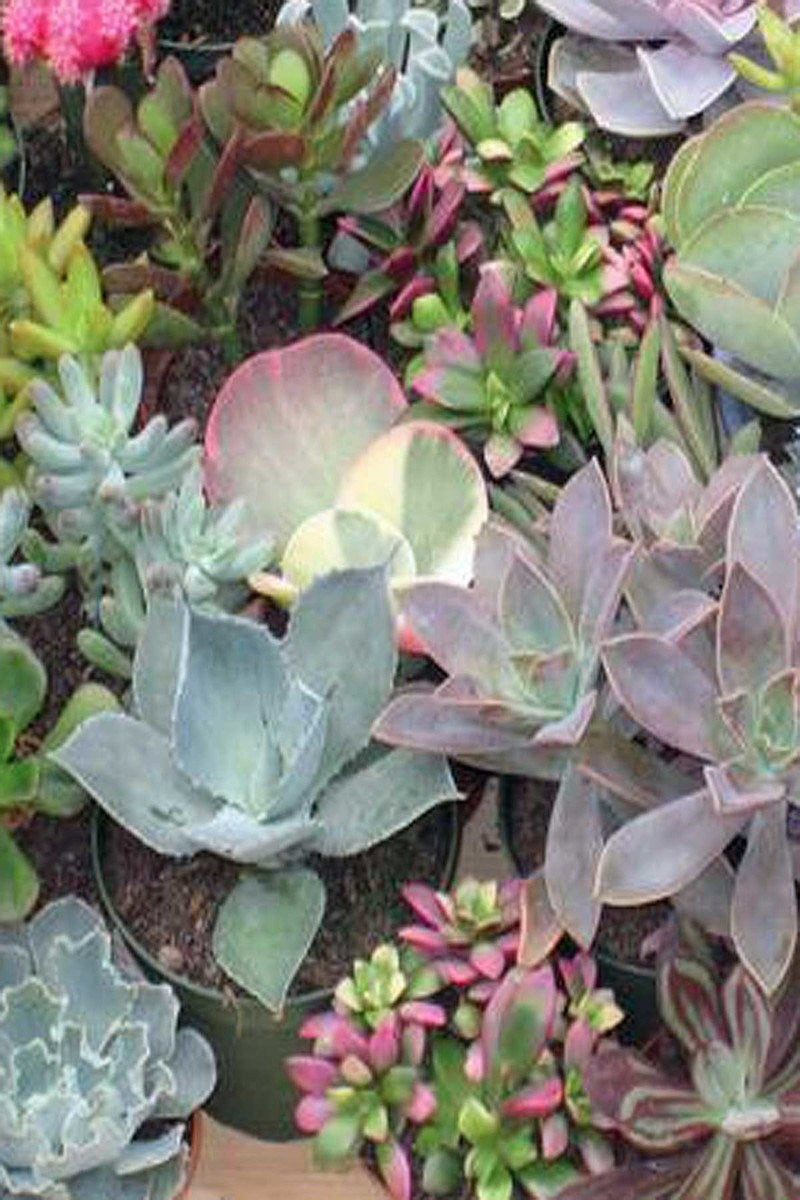 Echeveria Succulent Assorted,(Grower's Select) (Excludes Ca, Az) Size: 6 Pack (2in pot, Live Plant)
