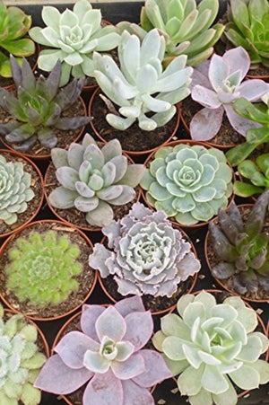 Echeveria Succulent Assortment, fleshy leaves, ornamental,(Grower's Select) (State Restrictions 