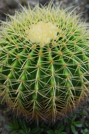 Golden Barrel Cactus, Golden ball, Mother-in-law Cushion (Excludes Ca, Az) Size: 6 inch pot Live Plant
