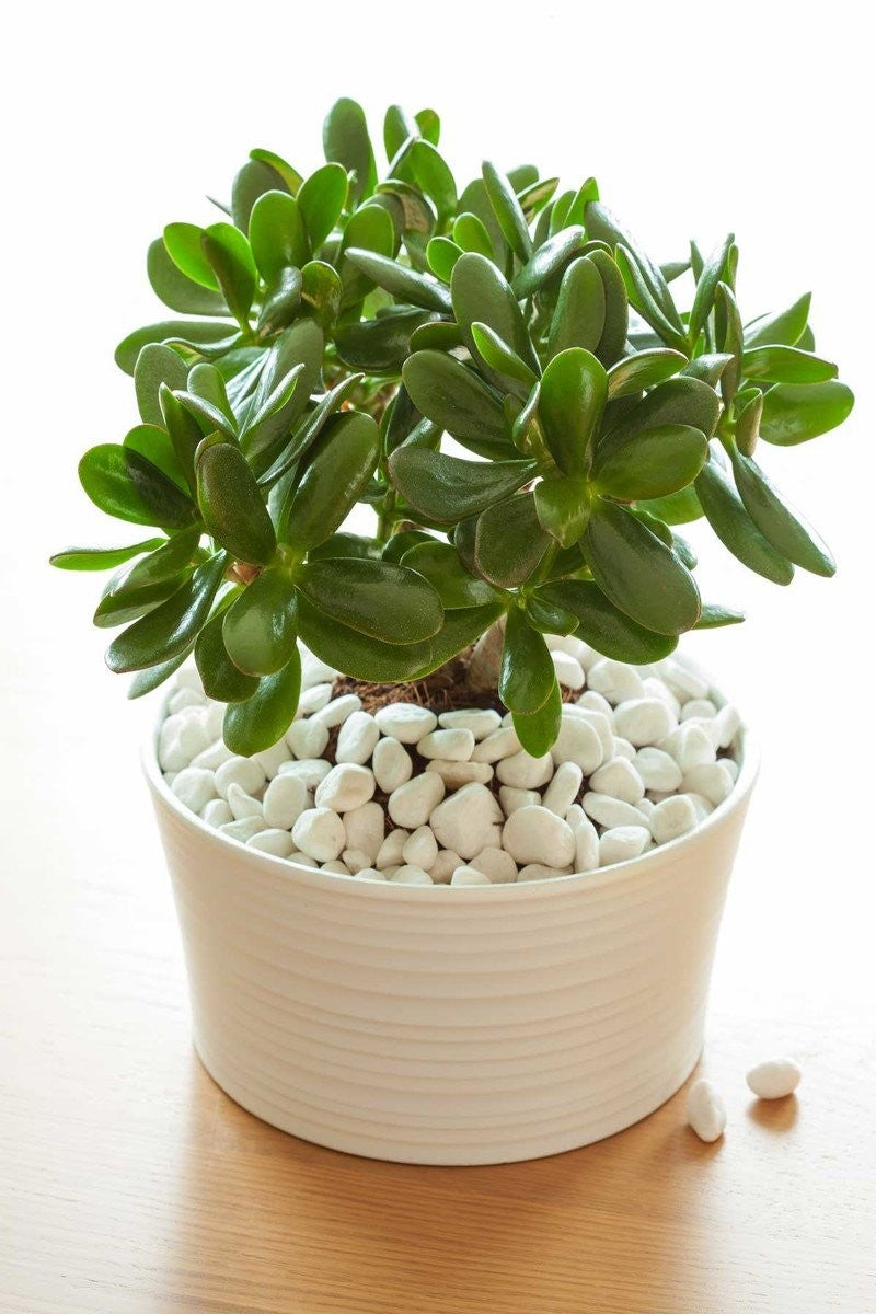 Jade Plant, Succulent (Excludes CA, AZ) for $ 28.95 at Root 98 Warehouse