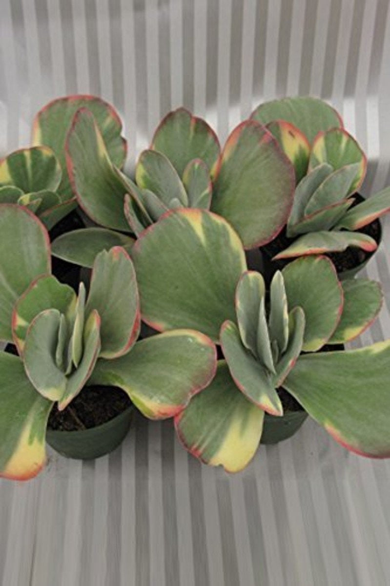 Kalanchoe Succulent Assorted (Excludes Ca, Az), 2 Pack (4in Pot, Live Plant)