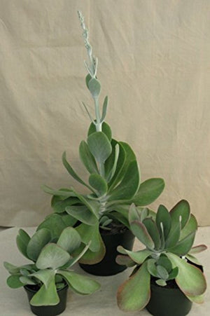 Kalanchoe Succulent Thyrisflora (Flap Jack) (State Restrictions Apply) for $ 148.95 at Root 98 Warehouse