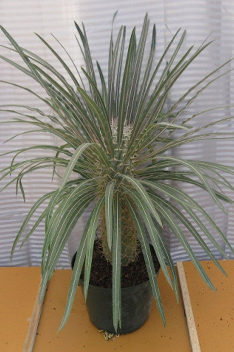 Madagascar Palm, Fragrant Flowers, Succulent,(State Restrictions Apply) for $ 29.95 at Root 98 Warehouse