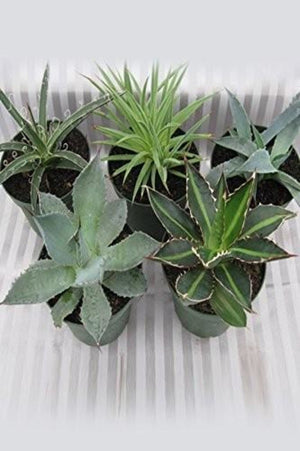 Agave Succulent Assortment Thick Fleshy Leaves Prefer Warmth And Light (Growers Select) (State Restrictions Apply)