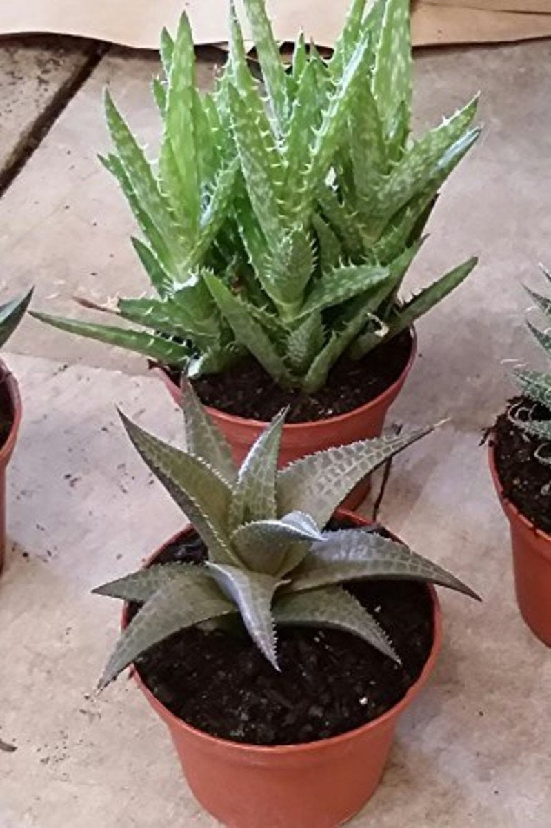 Aloe Assorted (Excludes Ca, Az), Size: 4-inch pot x 30 (Tray)