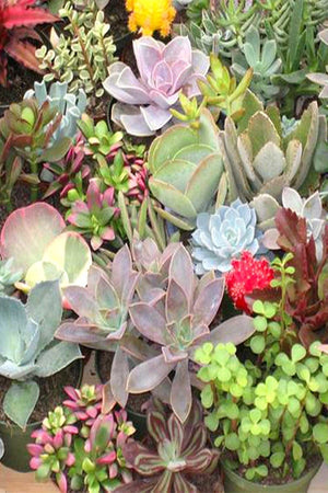 Succulent Assortment,fleshy leaves, ornamental, drought resistant (Growers Select) (State Restrictions Apply))