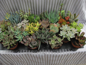 Succulent Assorted,fleshy leaves, ornamental, drought resistant (Growers Select) (Excludes Ca, Az)) Size: 6 Pack (2in pot, Live Plant)