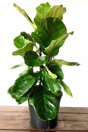 Fiddle Leaf Fig Tree, Ficus Lyrata, (Excludes Ca, Az) Size: 3 Gallon