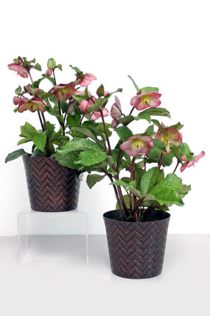 Hellebores, Frost Kiss, Hardy Shade Perennial (Free 2- Day Shipping Included) for $ 77.95 at Root 98 Warehouse