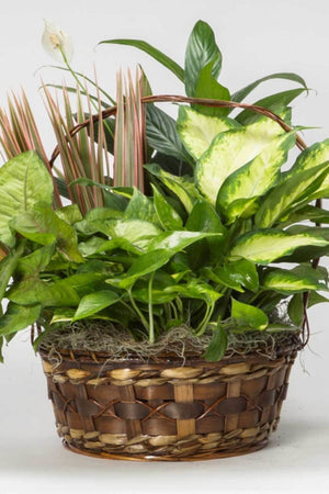 "Round Wicker Basket with Handle, 10"", Live Plant, (Excludes Ca, Az) Size: 1 Planter"