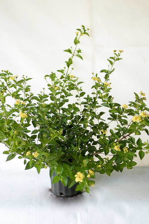 Lantana 'Yellow', Evergreen, Yellow Flowers (Excludes Ca, Az) Size: 1 Gallon
