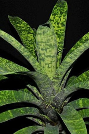 Vriesea Ospinae Gruberii Ice Bromeliad, 6 Pack, (Excludes Ca, Az)