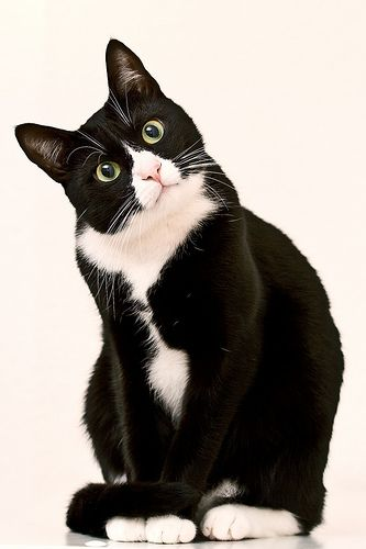 10 Facts About Tuxedo Cats