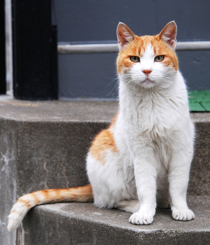 8 Facts About Orange Cats Waffles The Cat