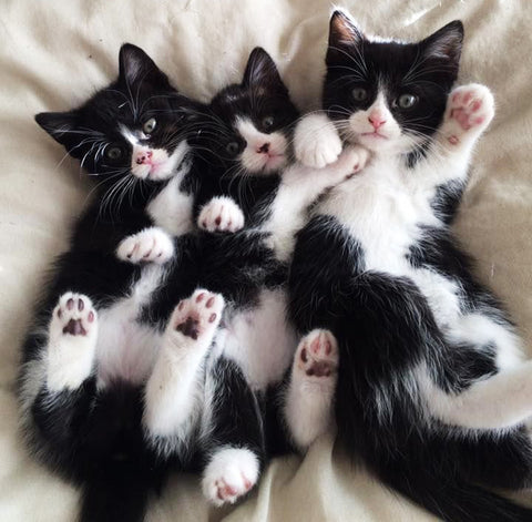 10 Facts About Tuxedo Cats – Waffles the Cat