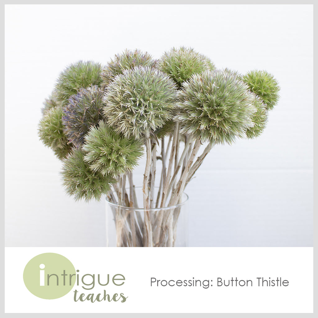 Button Thistle Processing