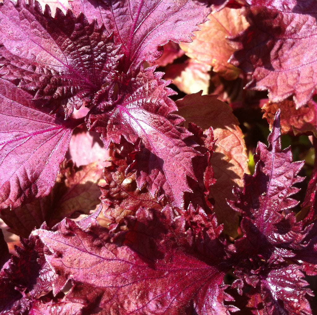 Ingredient Spotlight: Shiso Oil