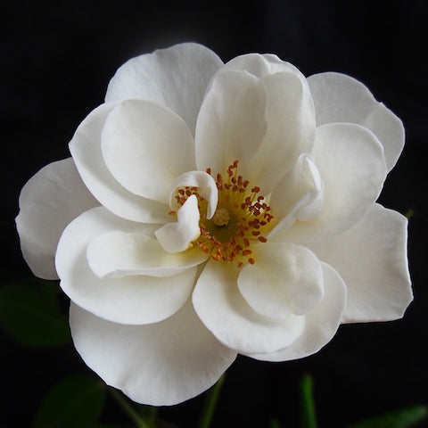 Close up of white rose in full bloom on black background