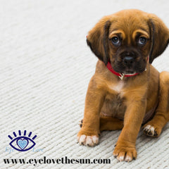 Dry Eye Surgery For Dogs
