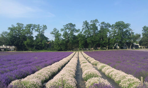 Lavender field with white and purple lavender