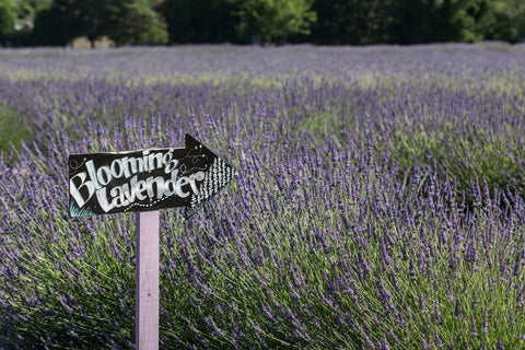 blooming lavender north fork