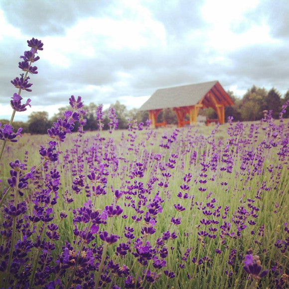 New York's Premier Lavender Farm On The North Fork Of Long