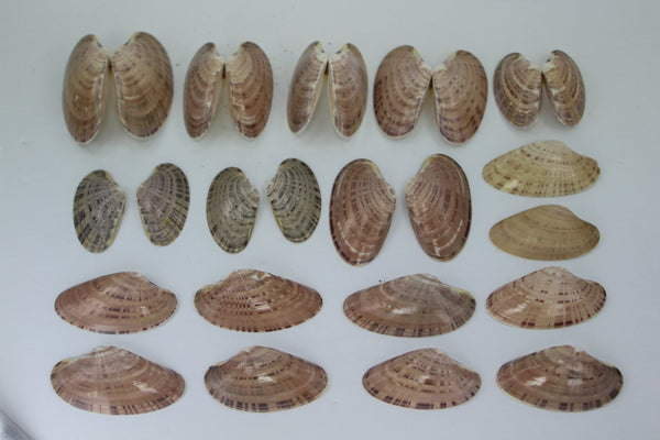 "Florida Natural Shells Double Sunray Venus ""Wings"" Collection Crafts Jewelry"